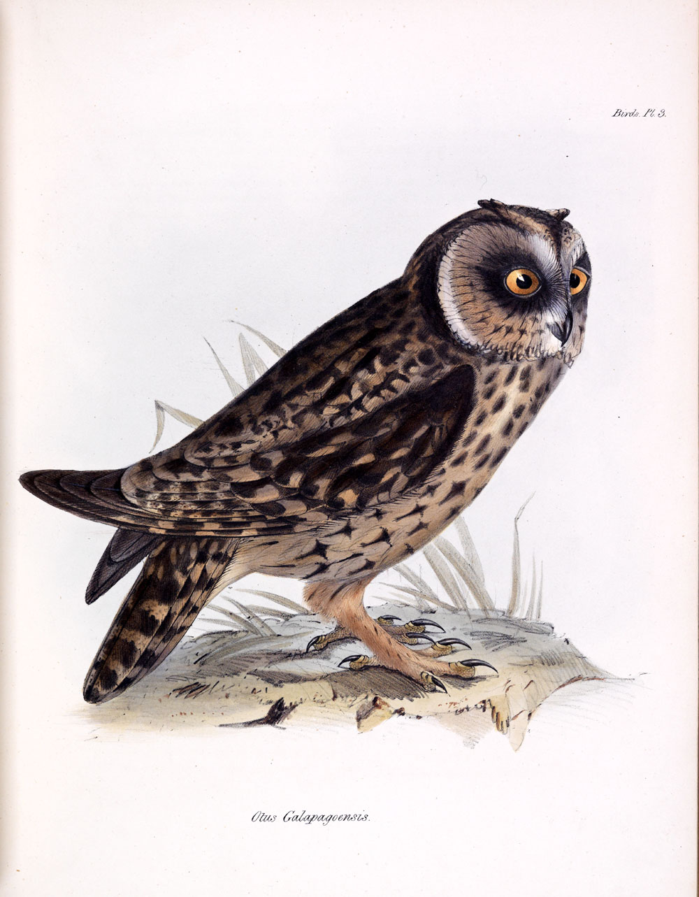 owl from Zoology